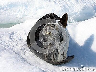 A Weddell Seal