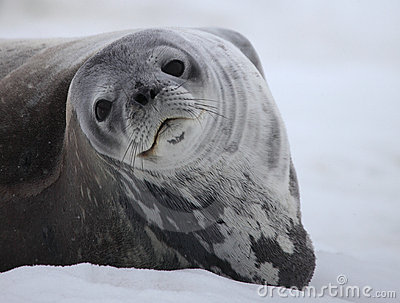 Weddell seal of Antarctica