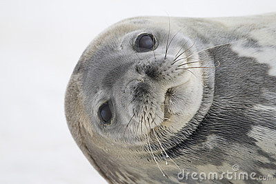 Weddell Seal, Cuverville Island, Antarctica