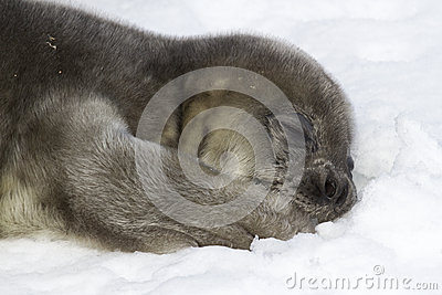 Weddell seal pup lying on snow and holding his paw