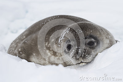Weddell seal pup lying in the snow of winter