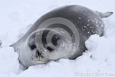 Weddell seal pup in the snow