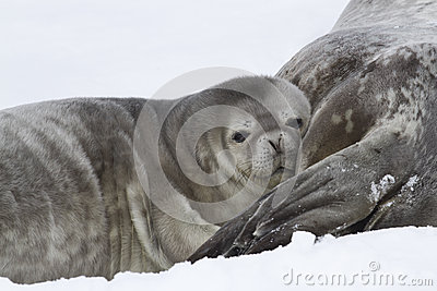 Weddell seal pup who leaned his head on the