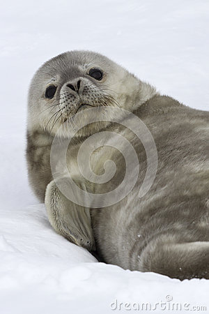 Weddell seal pup who lies on the snow lifted