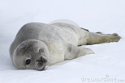 Weddell seal pups which lies on the ice