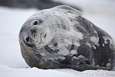 Weddell seal in snowy weather, Antarctica