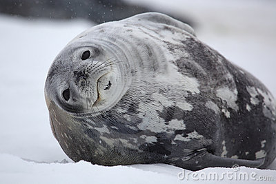 Weddell seal in snowy weather, Antarctica