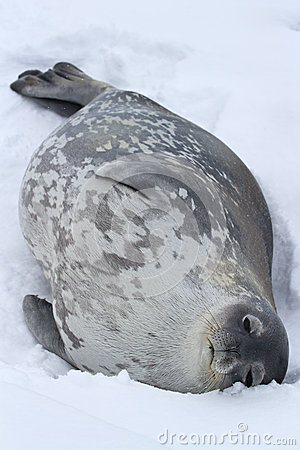 Weddell seal which lies in the snow on a summer