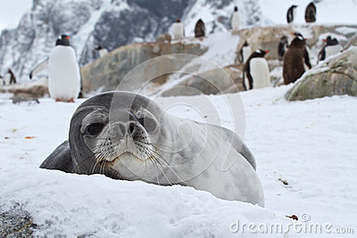 Weddell seal which looks out over the snowy