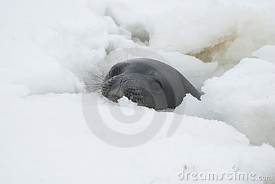 Weddell seals in the hole.