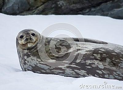 Weddellrobbe die Antarktis