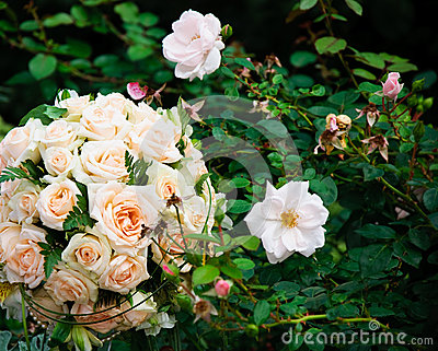 Wedding bouquet of white roses on green natural leaf backgrounds