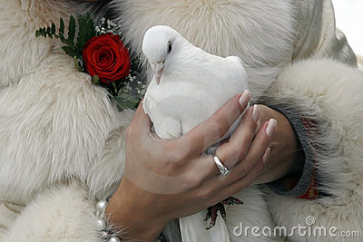 Wedding white pigeon