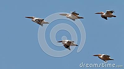 Wedge of pelicans flies in the blue sky