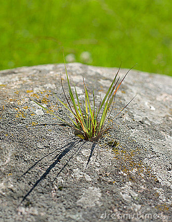 Weed growing through rock