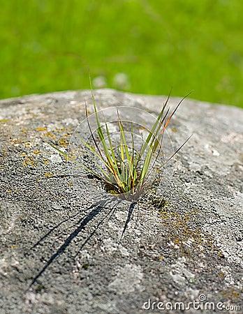 Weed growing through rock