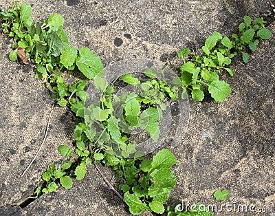 Weeds between paving stones