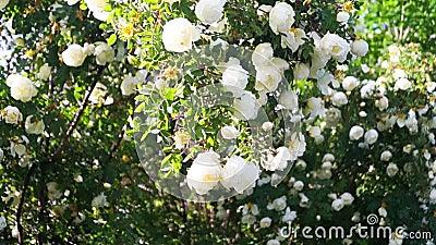 Weelderige die dogrosestruik, rijk met witte bloemen wordt beslagen stock video