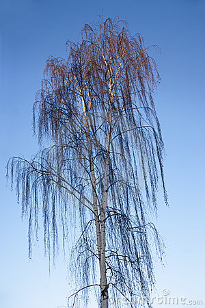 Weeping birch