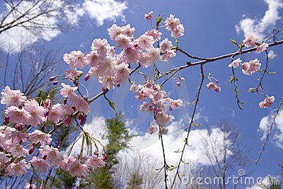 Weeping Cherry - Blue Sky