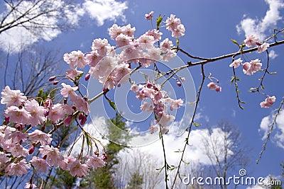 Weeping Cherry - Blue Sky