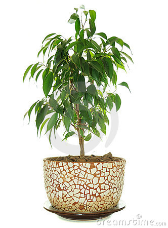 Weeping Fig (Ficus Benjamina) in Pot
