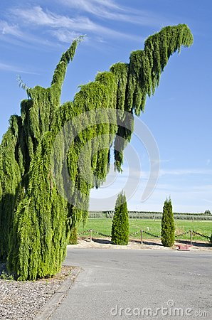Weeping Sequoia Trees