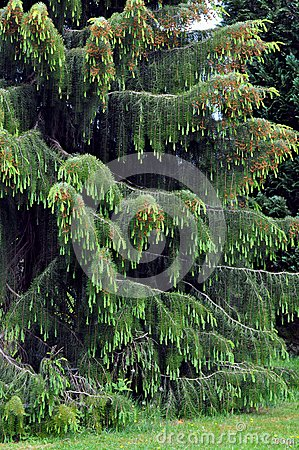 Weeping spruce