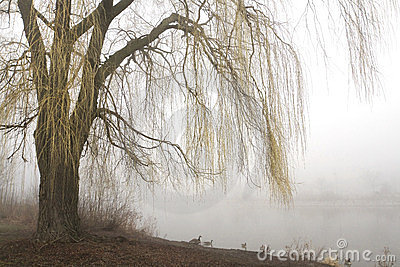 Weeping willow with misty lake