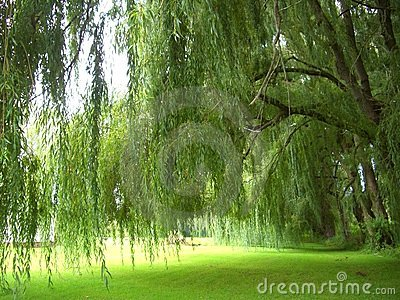 Weeping Willows