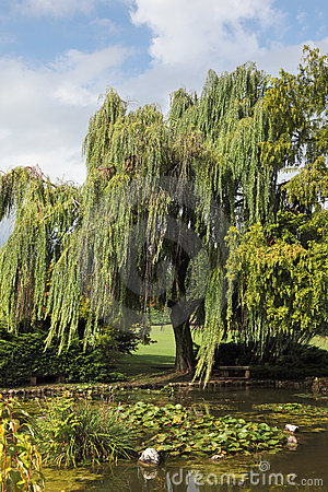 A weeping willows and lily