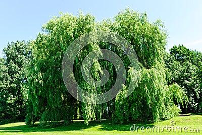 Weeping willows, Salix alba Tristis