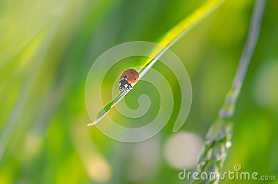 Weevil on grass