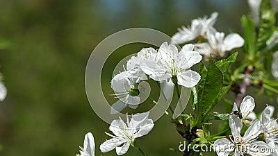 Weiße Kirschblüte im Wind stock video footage