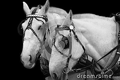 Weiße Pferde (B&W Bild)