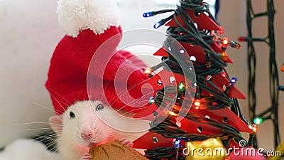 Wei?e Ratte in der Weihnachtskappe zerfrisst Pl?tzchen stock footage