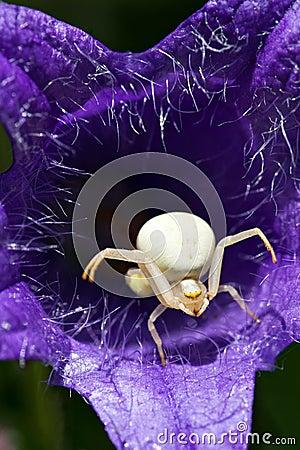 Weiße Spinne