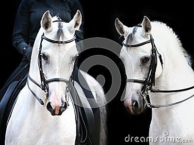 Weiße Stallions