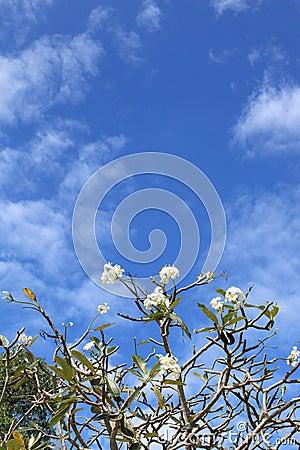 Weiße und gelbe Frangipaniblumen.