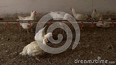 Weißer Hennenstand auf Stroh stock video footage