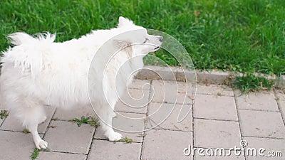 Weißer Hund steht auf dem Bürgersteig und bellt eine Katze an stock video