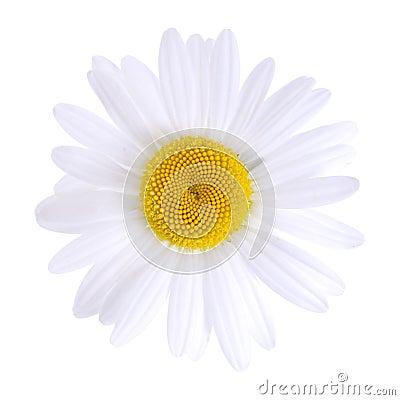 Weißes Gänseblümchen getrennt