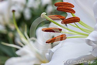 Weiß lilly