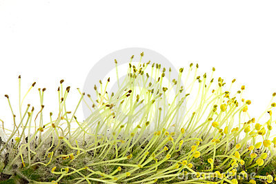 Weide-Blütenstaub