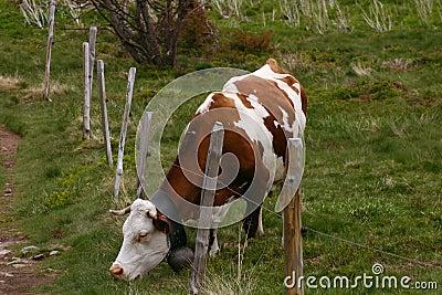 weiden lassen der kuh mit einem zaun lizenzfreie stockbilder bild 1144559. Black Bedroom Furniture Sets. Home Design Ideas