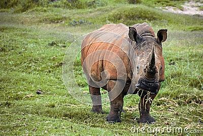 Weiden lassen des Nashorns