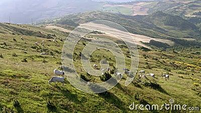 Weiden lassen des Viehs mit bebauten Feldern im Hintergrund stock footage