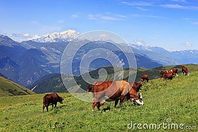 Weiden lassende Kühe