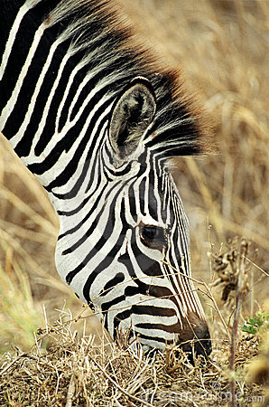 Weiden lassender Zebra