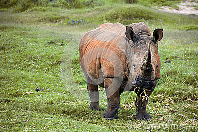 Weidende rinoceros